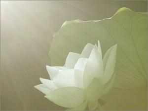 soft-white-lotus