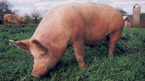 497730-pig