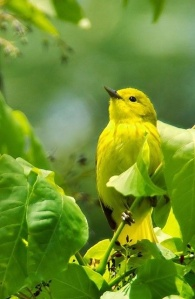 yellow_bird_in_a_tree-516